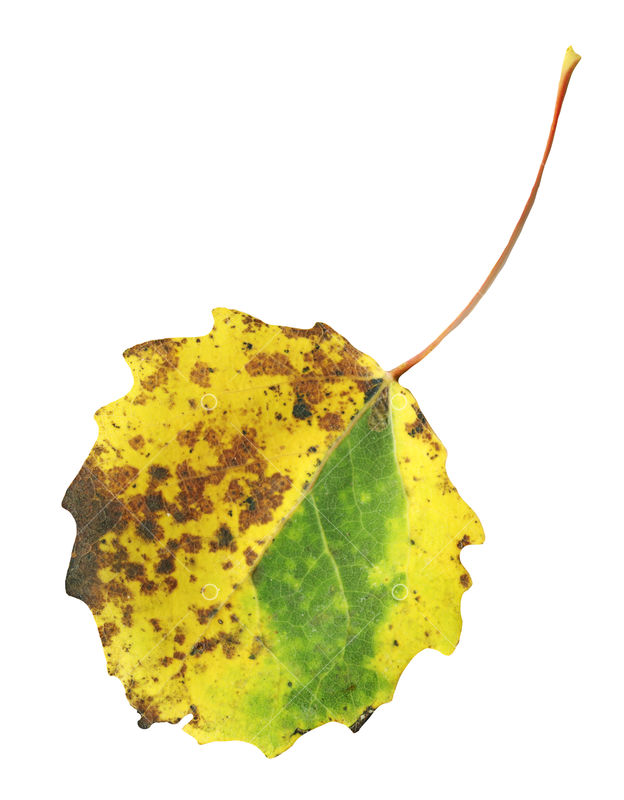 Quaking Aspen Leaf Isolated On White Autumn Aspen Leaf Image Stock By Pixlr