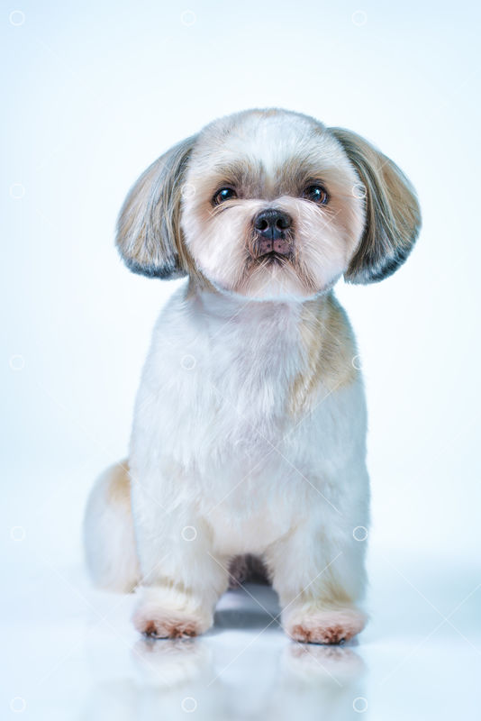 Shih Tzu Dog With Short Hair After Grooming Front View On Bright White And Blue Background Image Stock By Pixlr
