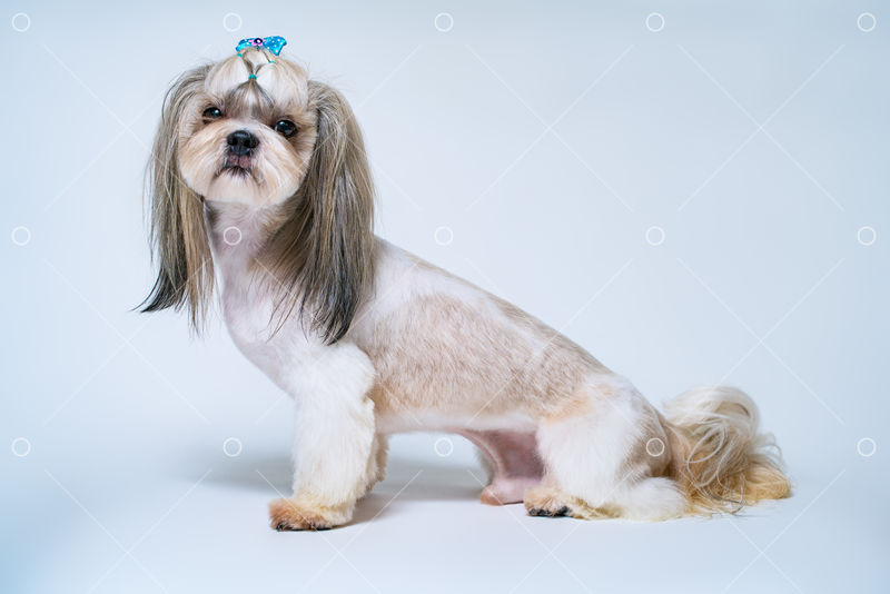 Shih Tzu Dog With Short Hair After Grooming Side View On Bright White And Blue Background Image Stock By Pixlr