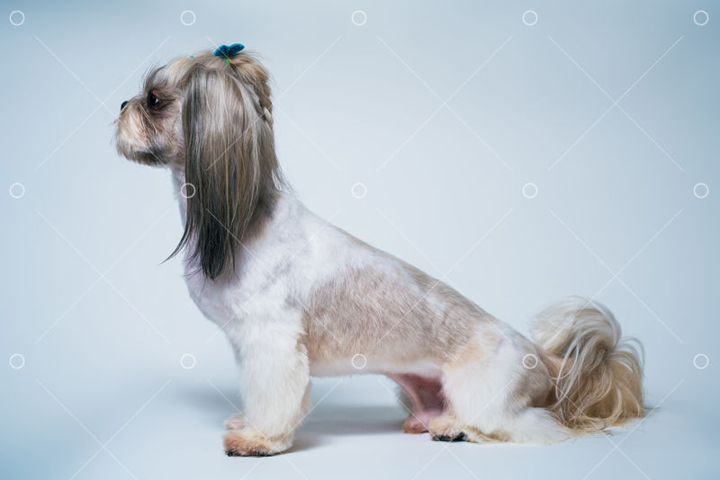 Shih Tzu Dog With Short Hair After Grooming Profile View On Bright White And Blue Background Image Stock By Pixlr