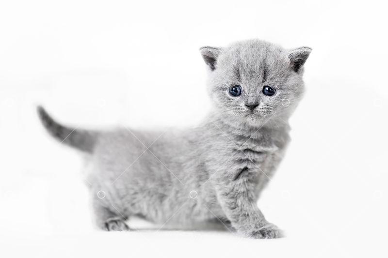 Cute Kitten Portrait British Shorthair Cat On White Background Image Stock By Pixlr